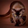 哈瓦纳棕毛猫