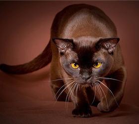 哈瓦纳棕毛猫|哈瓦那褐猫,哈瓦那