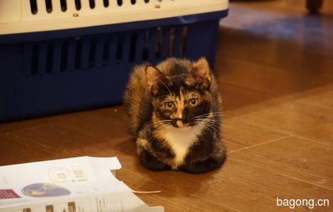 玳瑁猫咪找领养1