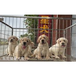 HI,我们是耀星犬舍的拉布拉多宝宝,我们来自广东东莞