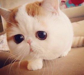 异国猫|奇异猫|外来种猫|短毛猫|异国短毛猫|短毛波斯猫
