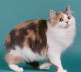 威尔士猫|塞尔特猫|韦尔斯猫
