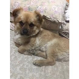 雄性狗,有8公斤左右,黄色毛,...