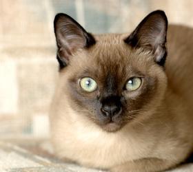 缅甸猫|缅甸短毛猫|缅短
