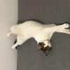 杭州小猫咪已绝育待领养