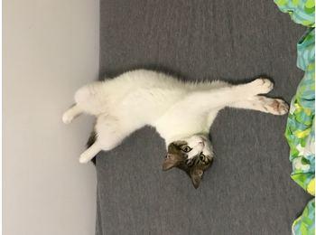 杭州小猫咪已绝育待领...
