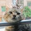 蓝猫妈妈生的,是只小梨花猫,11...