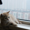 1/2纯种异国长毛猫血统猫宝宝求领养赠送