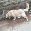 我有一只很可爱的十一个月的金毛犬求好心人领养