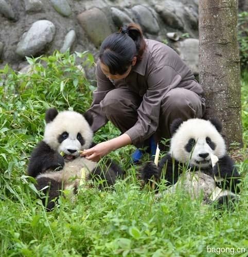 世界上最容易被抱大腿的工作:熊猫驯养师。17
