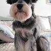 我有一只雪纳瑞,需要找个爱狗狗的人免费领养