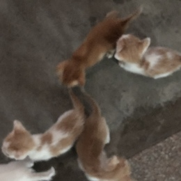 中华田园纯白/橘小奶猫(多只)