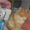 中长毛的漂亮纯黄猫免费领养