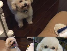 本人爱犬今日白天在上海闸北区永...