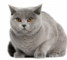英国短毛猫|英短,蓝猫