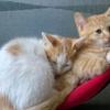 2个月小猫免费送养