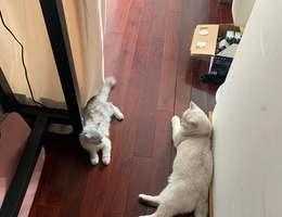 自家小猫咪(名字:花花),长毛...