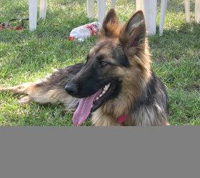 昆明犬|狼狗,狼犬