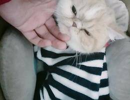 白橘相间的加菲猫有些怕人,肚子...