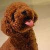 标准贵宾犬4