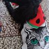 黑色泰迪犬 公 2岁。7月20日在普...