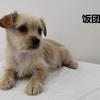 (只限北京)北京地区可爱小奶狗求抱走