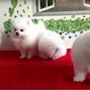 送养一只小博美乖巧可爱,限能够宠爱狗狗一生爱狗狗人士领养