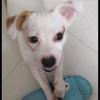 蝴蝶犬免费领养不是纯的因为本人怀孕不方便养