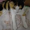 猫品种是中华田园猫,橘黄色,肤...