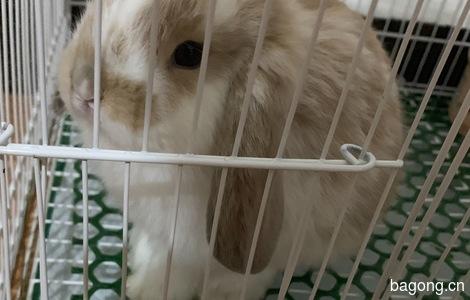垂耳兔弟弟领养1