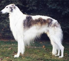 苏俄猎狼犬|俄罗斯猎狼犬,波索尔,俄罗斯猎狼