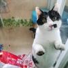 1岁成年绝育黑白公猫,免费领养,有能力稳定的来