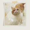 加菲猫一岁会用猫砂东西齐全求抱走