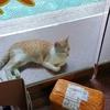 有一只亲人通人性的橘猫求抱回家