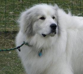 大白熊犬|大白熊,比利牛斯山地犬