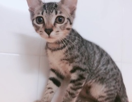 有两只刚满三个月的小猫(女孩)...