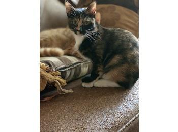 玳瑁猫咪找领养