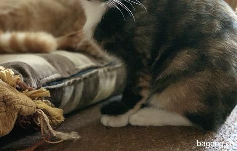 玳瑁猫咪找领养0