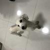 我有一只贵宾犬免费赠送,求好心人领养 ,只包送深圳