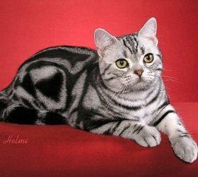 美国短毛猫|美短,棕色标准虎斑猫,虎斑