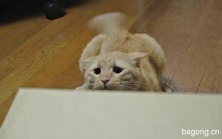 哈哈,这只猫一用逗猫棒  瞬间变身梁朝伟6