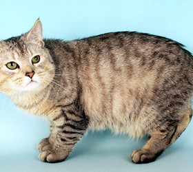 曼岛猫|曼岛无尾猫|海曼岛猫|曼克斯猫