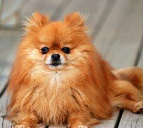 博美犬|博美,松鼠犬,波美拉尼亚犬