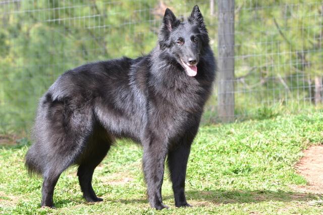 比利时特弗伦牧羊犬_比利时牧羊犬_比牧/特弗伦,比利时特弗伦犬