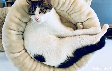 杭州小猫咪已绝育待领养1