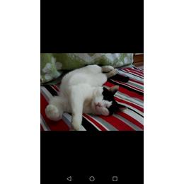 黑白色两岁公猫,在呼和浩特新城...