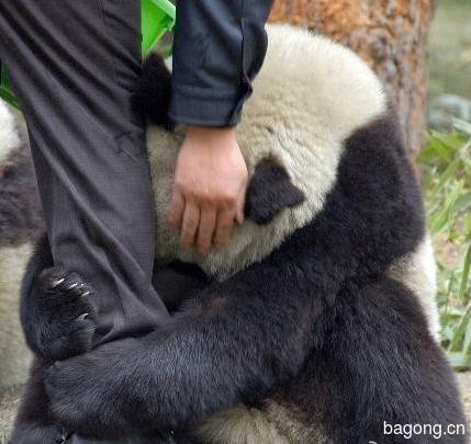 世界上最容易被抱大腿的工作:熊猫驯养师。7