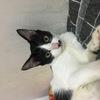 我有一只奶牛猫  求好心人收养