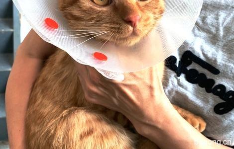 贝宝,8个月,漂亮金色的橘猫,寻找铲屎官2