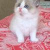 四个月大的小布偶猫妹妹另找粑粑麻麻
